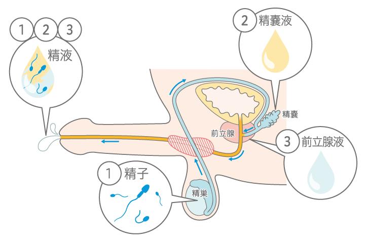 精液の構成図